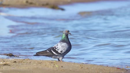 миграционный : A bird a Rock Dove (Columba livia) stands on a sandy shore and drinks water. After drinking water, rock dove flies away. Стоковые видеозаписи
