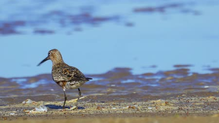 Bird - curlew sandpiper (Calidris ferruginea) walk through the shallow water and on sandbanks. Stock Footage