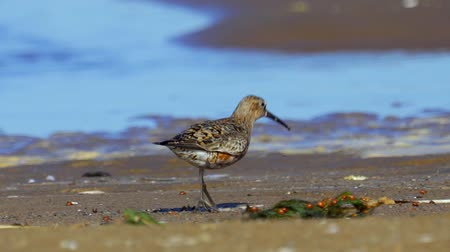 calidris ferruginea : Bird - curlew sandpiper (Calidris ferruginea) walk through the shallow water and on sandbanks. Stock Footage