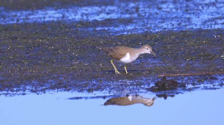 Bird - common sandpiper (Actitis hypoleucos) walks through the swamp. Little stint sandpiper looking for food and eating it.