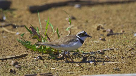 animal paws : Bird - Little Ringed Plover (Charadrius dubius) walks along the sandy shore. Sunny summer morning. Stock Footage