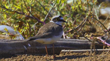 animal paws : Bird - Little Ringed Plover (Charadrius dubius) walks along the sandy shore. Sunny summer morning. Closeup.