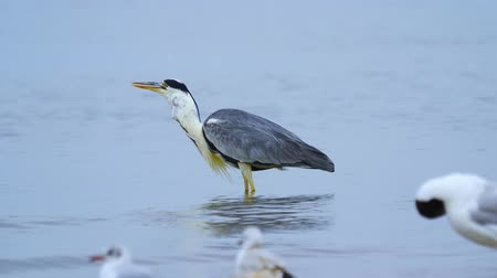 predatory bird : Gray heron (Ardea cinerea) standing in shallow water and resting after a meal in the early summer morning. Food is stuck in the throat of a heron and it cannot swallow it. Close-up. Stock Footage