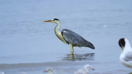 dravý : Gray heron (Ardea cinerea) standing in shallow water and resting after a meal in the early summer morning. Close-up. Dostupné videozáznamy