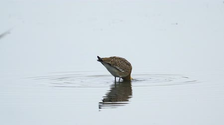 Bird - Black-tailed Godwit (Limosa limosa) walks through the swamp. Bird searches for food and eats it. Cloudy summer day.