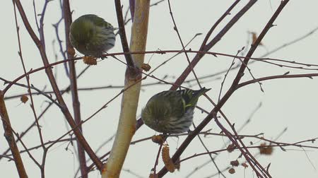 szare tło : Birds - Eurasian Siskins (Spinus spinus) sitting on a branch of a tree and eats the seeds of a birch tree.
