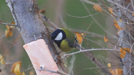 певчая птица : Bird - Great Tit (Parus major) sitting on a branch of a tree and eats lard. Close-up.