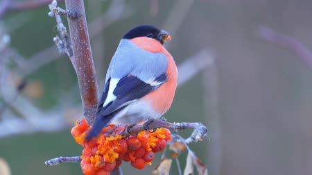 Bird - male Eurasian Bullfinch (Pyrrhula pyrrhula) sitting on a branch of a tree and eats the berries of red mountain ash. Close-up.