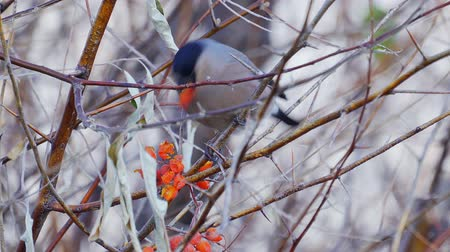 певчая птица : Bird - female Eurasian Bullfinch (Pyrrhula pyrrhula) sitting on a branch of a tree and eats the berries of red mountain ash. Close-up.