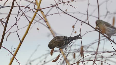 певчая птица : Bird - Redpoll (Acanthis flammea) sitting on a branch of a tree and eats the seeds of a birch tree.