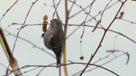Bird - Redpoll (Acanthis flammea) sitting on a branch of a tree and eats the seeds of a birch tree. Close-up.