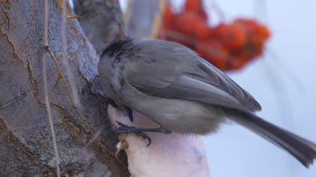 певчая птица : Bird - Willow Tit (Poecile montanus) sitting on a branch of a tree and eats lard. Close-up.