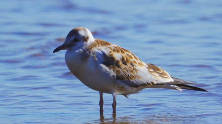 ridibundus : Young Black-headed Gull (Larus ridibundus) stand in shallow water and rest. Close-up.