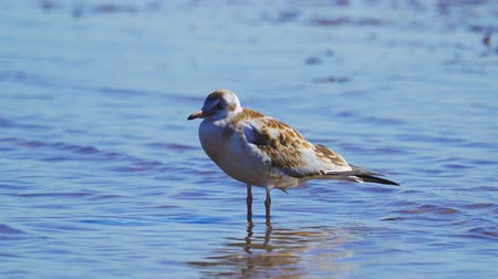 ridibundus : Young Black-headed Gull (Larus ridibundus) stand in shallow water and rest.