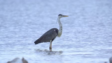 predatory bird : Gray heron (Ardea cinerea) standing in shallow water and resting in the early summer morning.