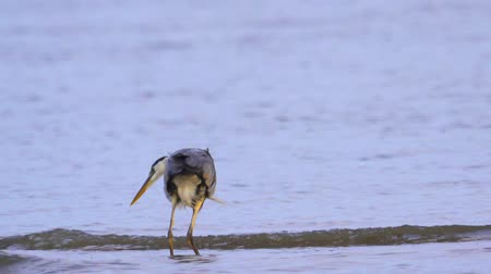 predatory bird : Gray heron (Ardea cinerea) standing in shallow water and resting in the early summer morning. Closeup. Stock Footage