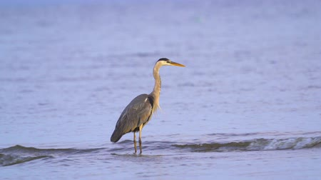 predatory bird : Gray heron (Ardea cinerea) standing in shallow water and resting in the early summer morning. A heron cleans its feathers.