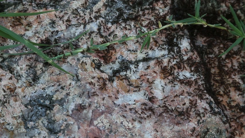 mal cheiroso : Ants crawling on rock and grass