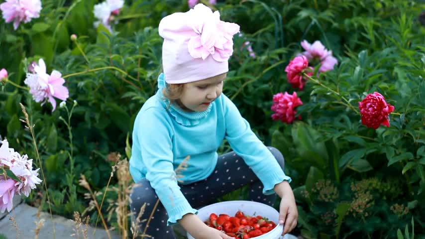 full bucket : Child girl shows the harvested crop of strawberries. Agriculture and garden with peonies
