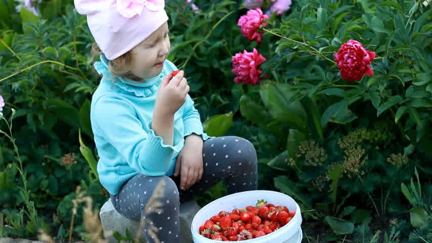 full bucket : A child eats a harvested crop of strawberries in the garden. The kid shows the sour taste of the berry