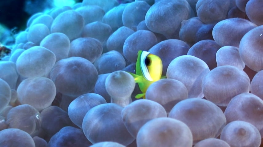water conservation : A single Clown fish is in hiding in an anemone.