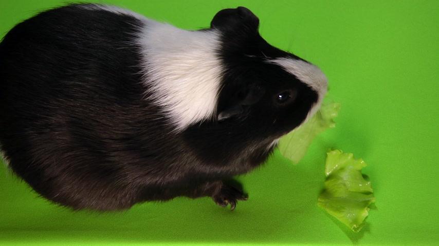 świnka morska : Funny colorful guinea pig sitting on a green screen and eating green salad