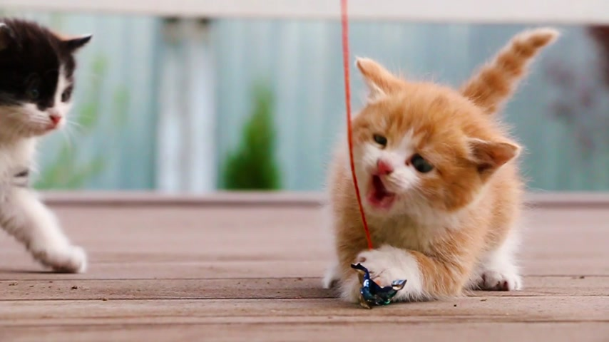 sivilceli : Ginger kitten not allowing spotty kitten to play with toy slow motion Stok Video