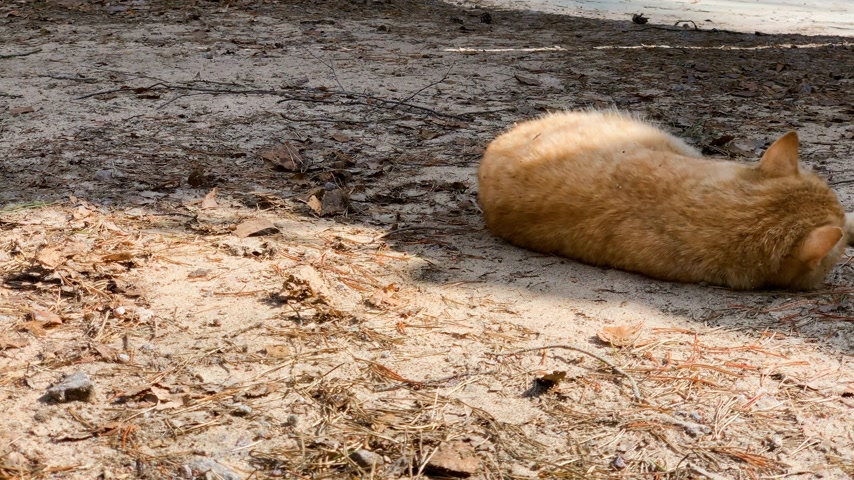кошачий : orange cat yawns and bathed in the sun