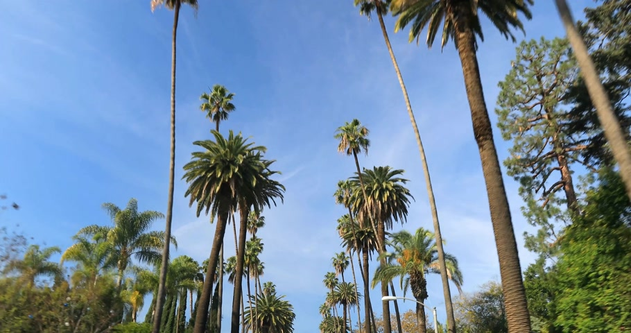 vaqueiro : Driving through Palm Trees on a street in Beverly Hills, CA, USA Stock Footage