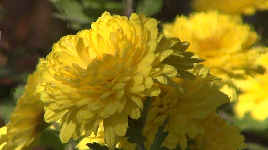 waggle : Yellow chrysanthemums in the wind close-up