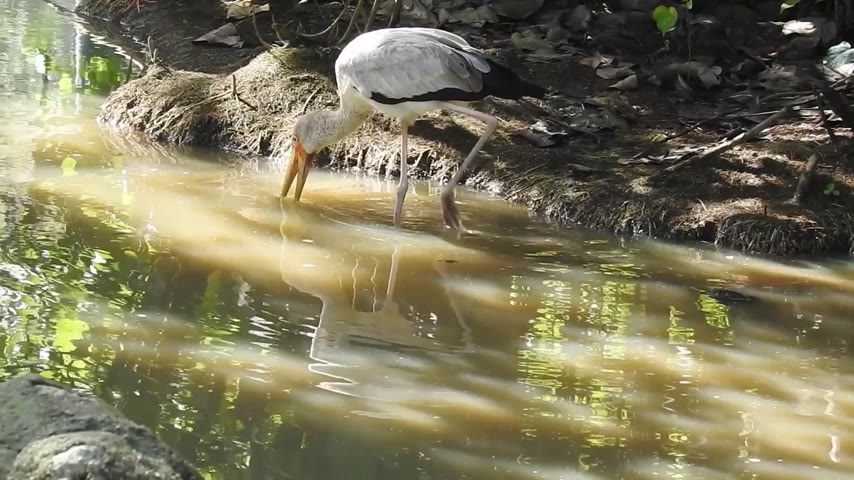 painted stork : Footage of the birds (Stork) Stock Footage