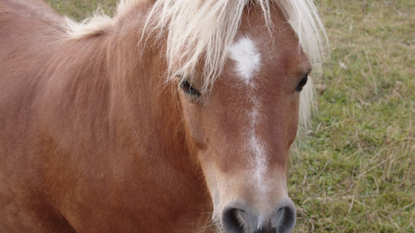 Close up of grumpy chestnut pony horse.