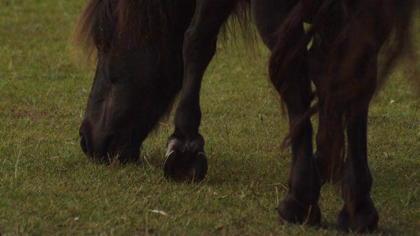 barışçı : Dark brown pony grazing. Static. Low POV Stok Video