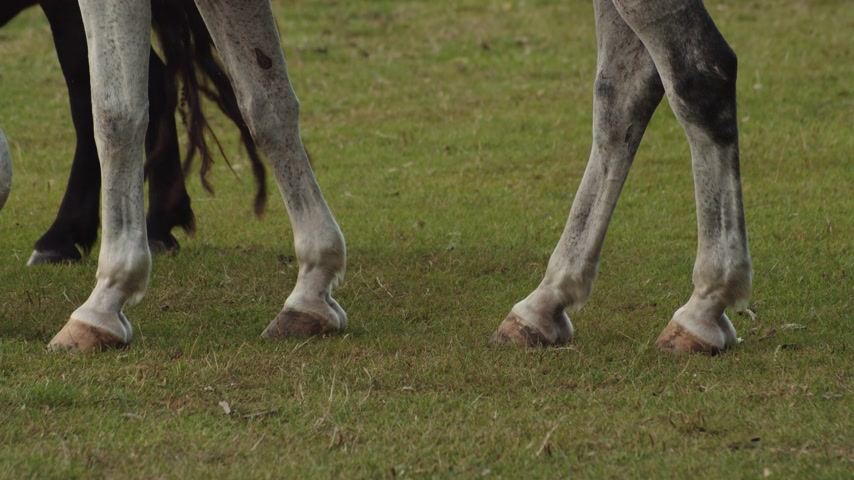 Detail of horse and pony grazing. Static. Low POV