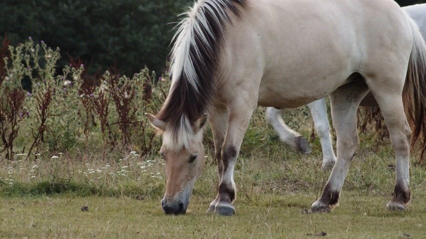 tlapky : Light brown horses in the pasture and one grazing. Static. POV Dostupné videozáznamy