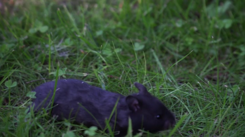 Small baby Syrian Hamster is walking in the grass and exploring world. 動画素材