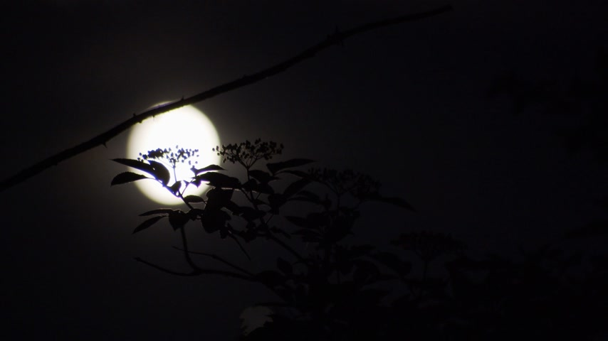 nocturnal : Time-lapse of a soft-focused moon as it moves along behind sharply focused foliage with a creepy horror movie feel to it. Stock Footage