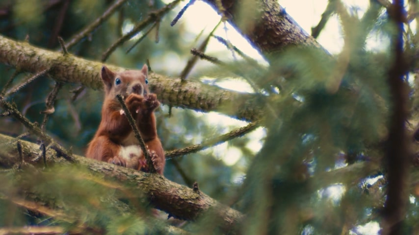 sciurus vulgaris : A very plump red squirrel sits high up in the trees eating his lunch in a hurry.