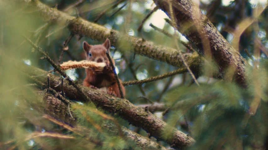 A fat Red Squirrel, sits high up in a pine tree eating his lunch with his front paws while carefully balanced on the branch.