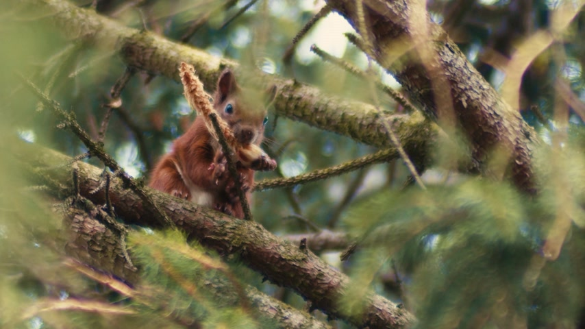 tlapky : A chunky red squirrel looks down at the camera whilst holding his lunch in his mouth. The red squirrel is endangered in the United Kingdom due to dominance of the American Gray Squirrel