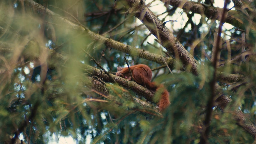 bold : A cheeky red squirrel sits in a fir tree eating lunch while looking at the camera.