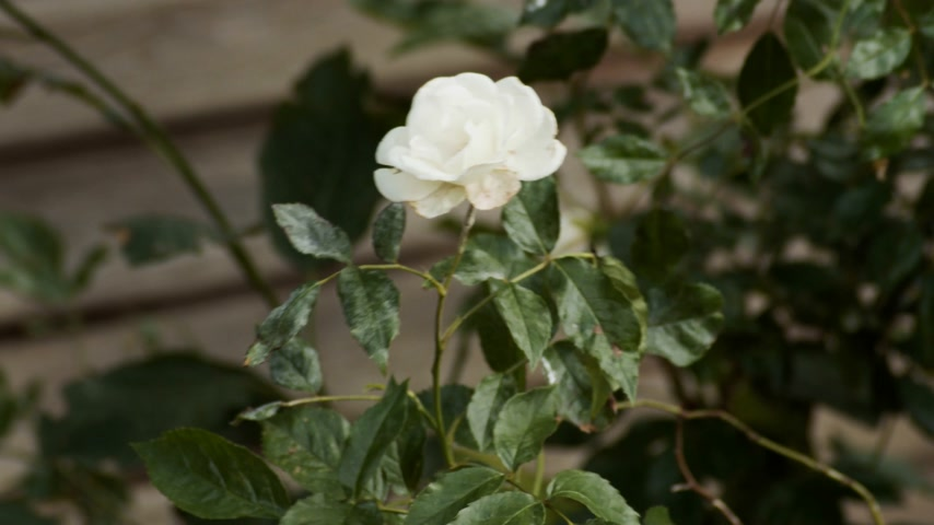 Single white rose flower with wing blowing growing on bush in the garden.