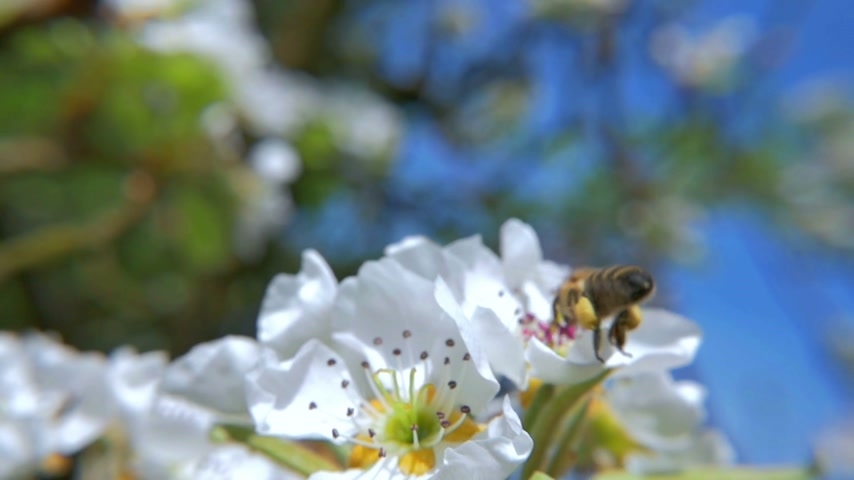 pszczoła : HD slow motion view how working bee approaching in front of the white flower