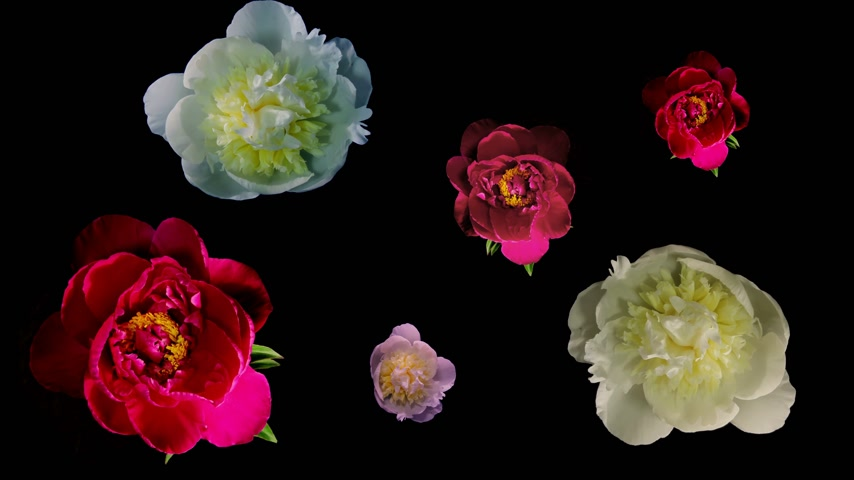 flower : Many Peony Flowering Timelapse 4k Stock Footage