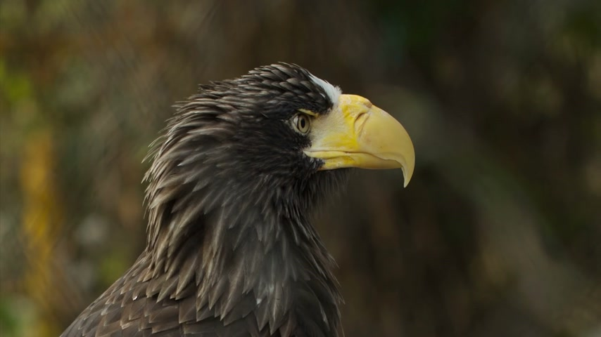 bird eye : Stellers Sea Eagle it the zoo Stock Footage