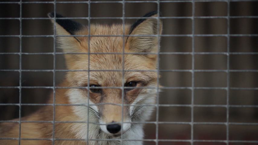 kafes : Fox in cage at Zoo