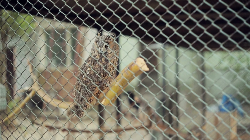 diurnal : Owl in a cage at zoo Stock Footage