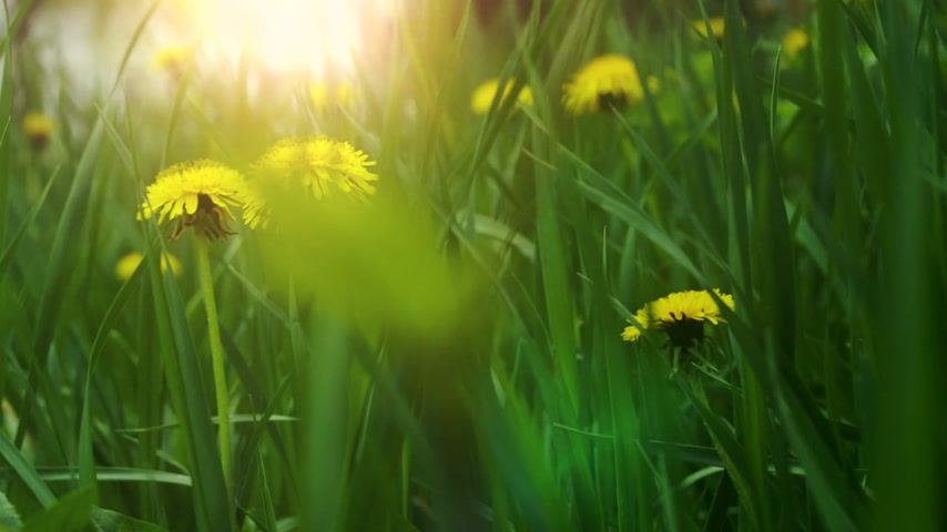 blooms : Dandelions in the meadow Stock Footage
