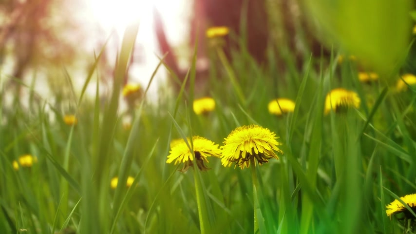 dmuchawiec : Dandelions in the meadow Wideo