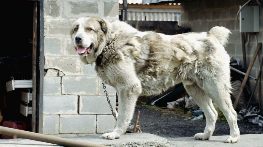 cur : Large chained dog Stock Footage
